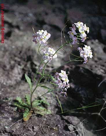 Cardaminopsis arenosa ssp. borbasii